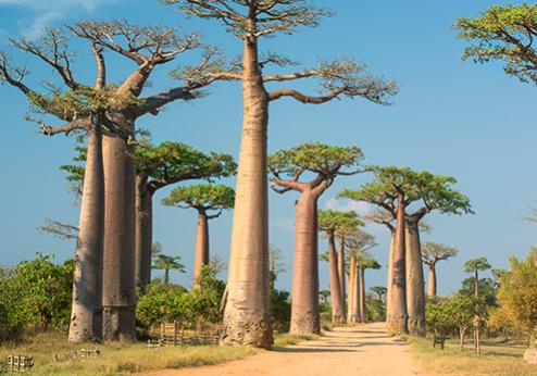 Forest, trees, Madagasar, Istockfree